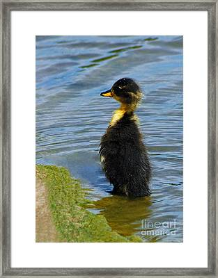 Framed Print featuring the photograph Lost Duckling by Olivia Hardwicke