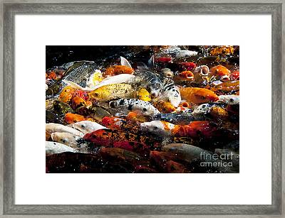Lots Of Hungry Koi  Framed Print by Wilma  Birdwell
