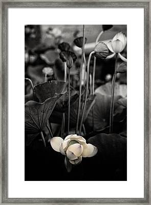 Lotus 5 Framed Print