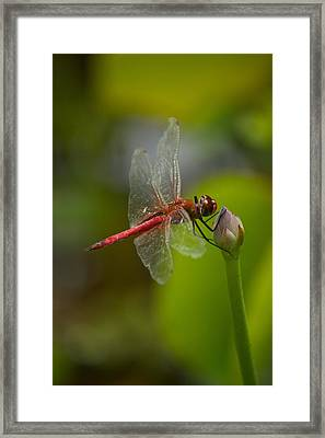 Lotus And Dragonfly Framed Print