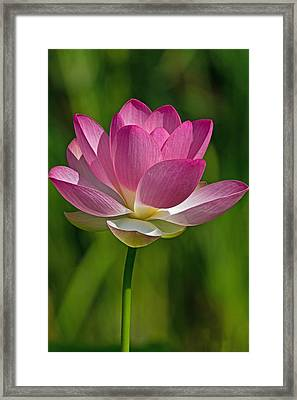Framed Print featuring the photograph Lotus Bloom by Jerry Gammon