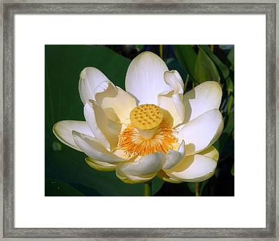 Framed Print featuring the photograph Lotus Blossom # 1 by Jim Whalen