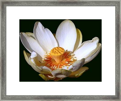 Framed Print featuring the photograph Lotus Blossom #2 by Jim Whalen