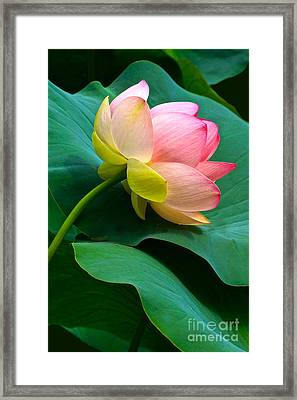 Lotus Blossom And Leaves Framed Print