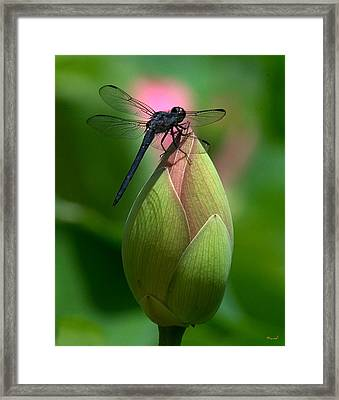 Framed Print featuring the photograph Lotus Bud And Slatey Skimmer Dragonfly Dl006 by Gerry Gantt