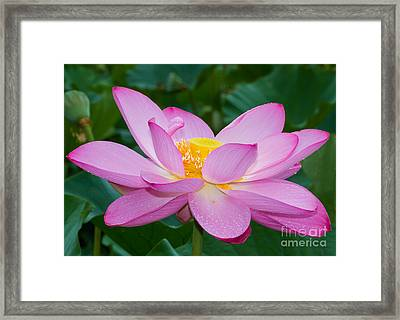 Lotus Dew Framed Print by Dale Nelson