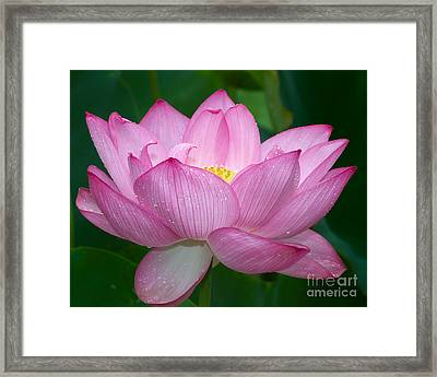 Lotus Drops Framed Print by Dale Nelson