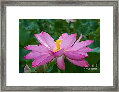 Lotus Flower 2 Framed Print by Dale Nelson