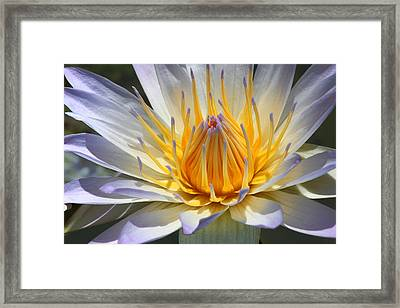 Blue Star Water Lily Framed Print by Nathan Rolls