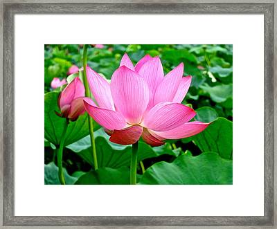 Lotus Heaven - 68 Framed Print by Larry Knipfing