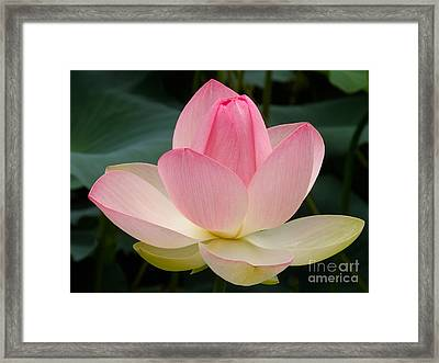 Lotus In Bloom Framed Print
