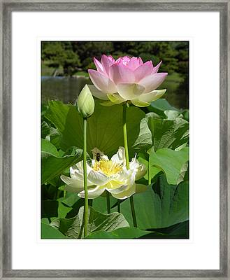 Lotus In Bloom Framed Print by John Lautermilch