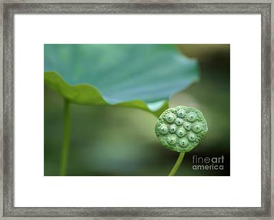 Lotus Leaf And A Seed Pod Framed Print by Sabrina L Ryan