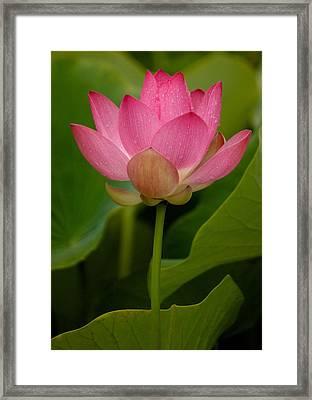 Lotus Light Framed Print