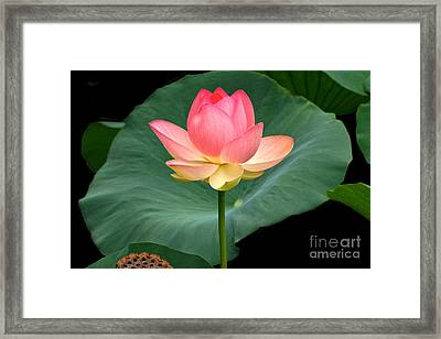 Lotus Of Late August Framed Print