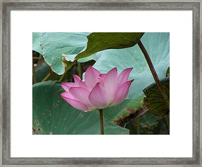 Lotus Of The Heart Framed Print by Steve Huang