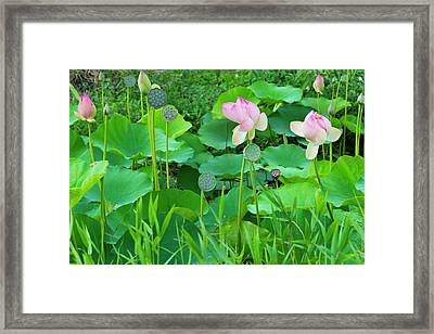 Lotus Pond, Guyana (large Format Sizes Framed Print by Keren Su