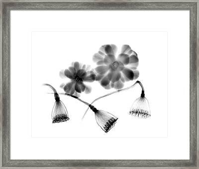 Lotus Seedheads And Houseleeks Framed Print by Albert Koetsier X-ray