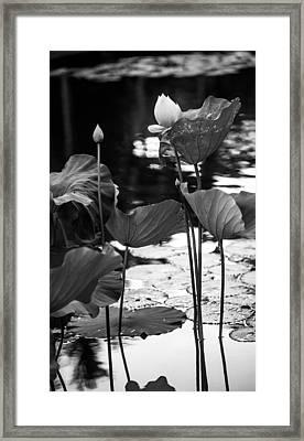 Lotuses In The Pond I. Black And White Framed Print