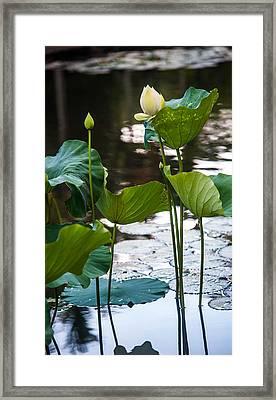 Lotuses In The Pond Framed Print
