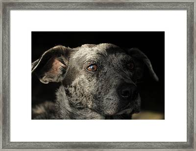 Louisiana Catahoula Leopard Dog Framed Print by Valerie Collins