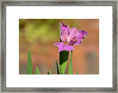 Louisiana Iris Framed Print