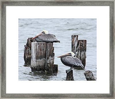 Louisiana Pelicans On Lake Ponchartrain Framed Print