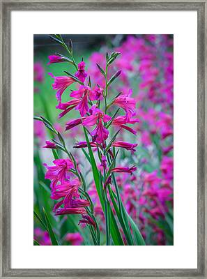 Louisiana Pink Iris Fulva Framed Print by Ester  Rogers
