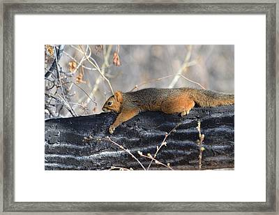 Lounging Fox Squirrel Framed Print