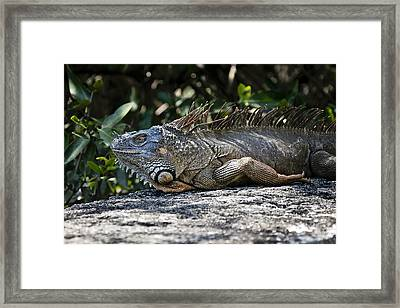 Lounging Lizard Framed Print