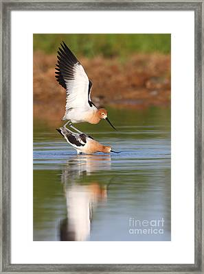 Framed Print featuring the photograph Love Avocet Style by Ruth Jolly