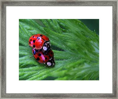 Love Bugs Framed Print by JC Findley