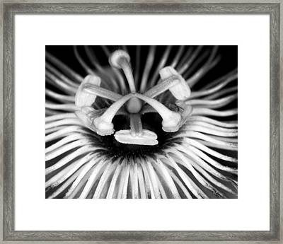 Love-in-a-mist 1 Framed Print by Patrick M Lynch