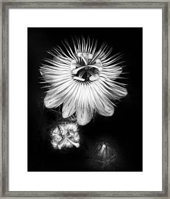 Love-in-a-mist 3 Framed Print by Patrick M Lynch