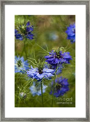 Love In A Mist Framed Print by Anne Gilbert