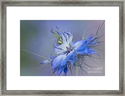 Love-in-a-mist Framed Print by Jacky Parker