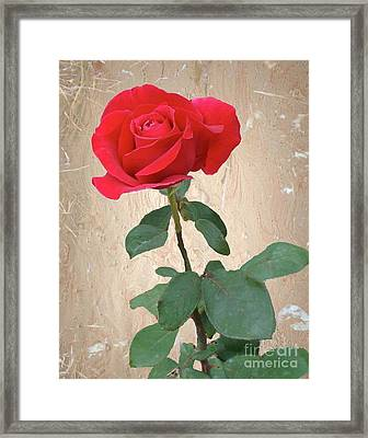 Love Is Like A Red Red Rose Framed Print by Janette Boyd