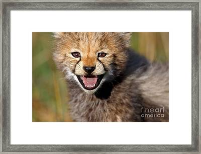 Loveable Portrait Of A Seven Weeks Old Cheetah Cub Framed Print