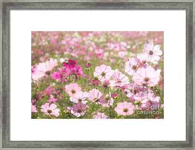 Lovely Backlit Pink And Fuchsia Cosmos Flower Field Framed Print