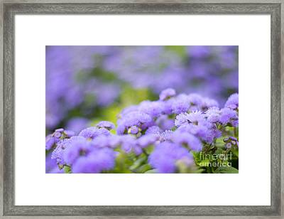 Lovely Blue Mink With Lavender Tones In Soft Focus Framed Print