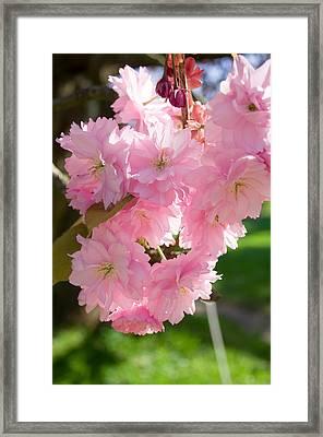 Lovely Cherry Blossom Framed Print by Iryna Soltyska