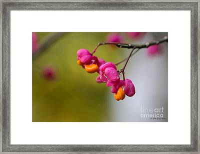 Lovely Colors - European Spindle Flower Seeds Framed Print by Jivko Nakev