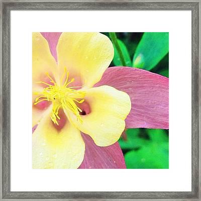 Lovely Columbine Flower Framed Print