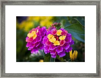 Lovely Lantana Framed Print