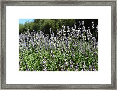 Lovely Lavender Framed Print