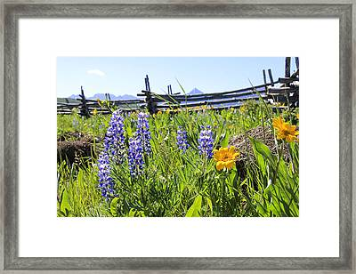 Lovely Lupine Framed Print