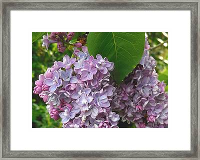 Lovely Luscious Lilacs Framed Print