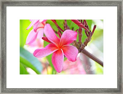 Framed Print featuring the photograph Lovely Plumeria by David Lawson