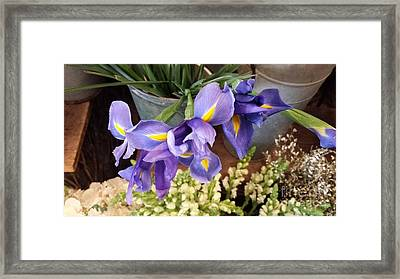 Lovely Purple Irises Framed Print