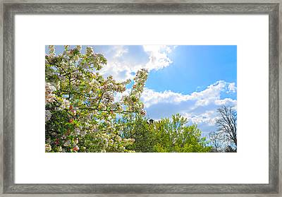 Lovely Spring Blossoms Framed Print by Andrew Middleton